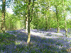Bluebells and woodland -01